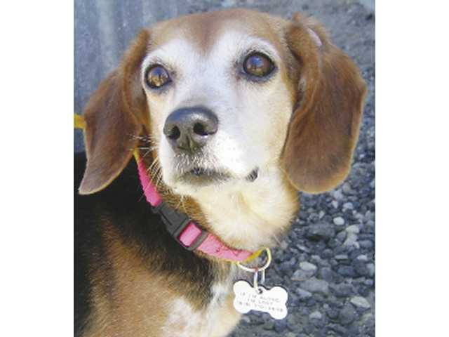 Lola is a purebred female Beagle, age 7. She is available for adoption at New Leash on Life Animal Rescue.