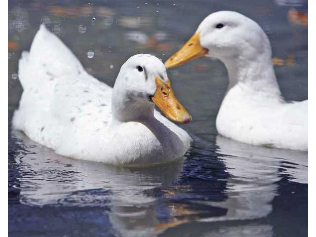 Two ducks cool off in a pond in the animal barnyard at William S. Hart Park on Tuesday.