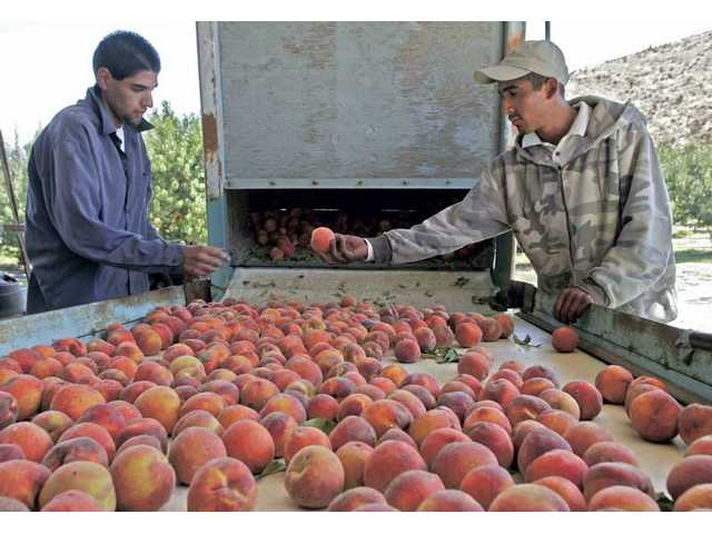 Joaquin Garcia, left, and Carlos Garcia sort out the peaches before they get washed and boxed at Blum Ranch on Monday morning.