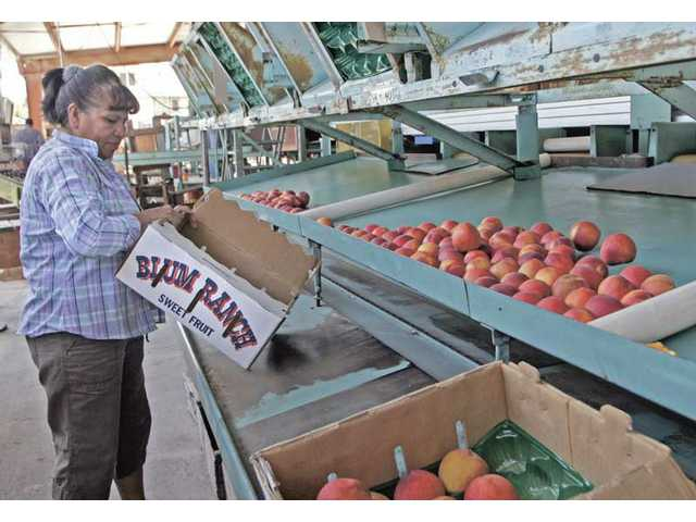 After collecting a certain number of peaches, Macrina LaBrie gets ready to box them. About 22 pounds of peaches fit into a box.