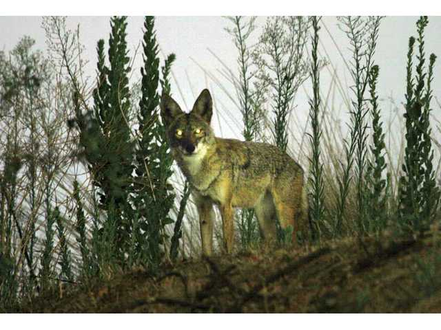 A coyote is captured on film earlier this month in a grassy area near a Valencia neighborhood. One Valencia family says it lost its pet dog to a pack of coyotes they believe is living in the area near Valencia Town Center.