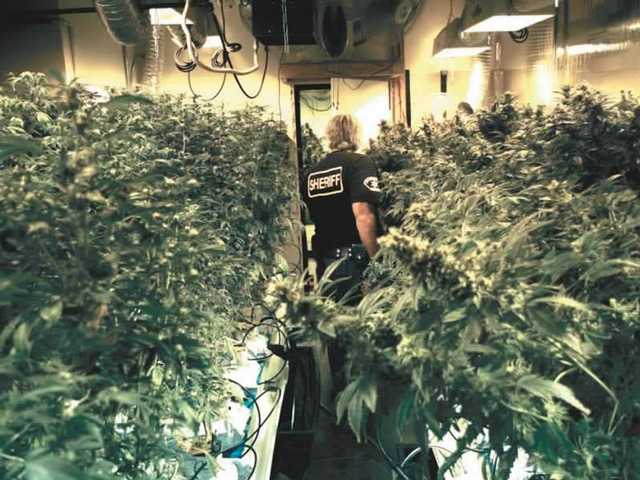 Sheriff's Sgt. Phil Morris weaves through one of three rooms filled with marijuana plants at various stages of maturity at a Tesoro del Valle residence Tuesday. The street value of the plants was estimated at $1 million to $3 million, according to Morris.