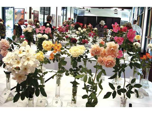 Society hosts rose show