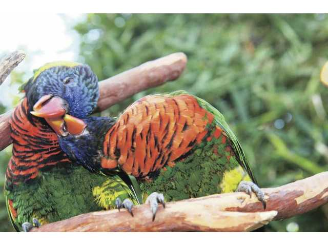 Lorikeets groom each other in Lorikeet Forest, which is a walk-through aviary.