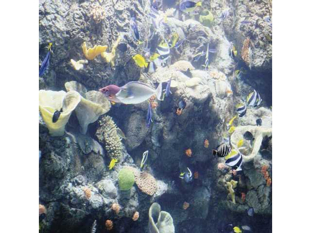 The tropical reef exhibits are among the most colorful at the Aquarium of the Pacific.