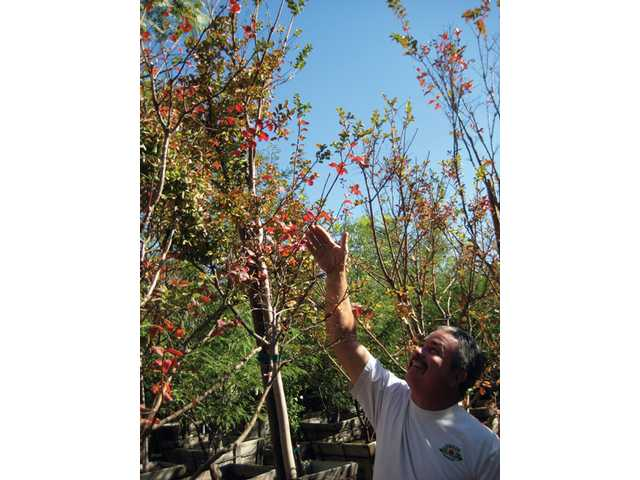 Richard Green of Green Landscape Nursery points out the fall foliage colors on a crape myrtle tree. Area nurseries also recommend liquid amber and ginkgo biloba trees for the Santa Clarita Valley.