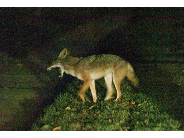 A coyote is seen near Pamplico Drive and Seco Canyon Road in Saugus earlier this month. The Santa Clarita Valley's coyote population is on the rise.