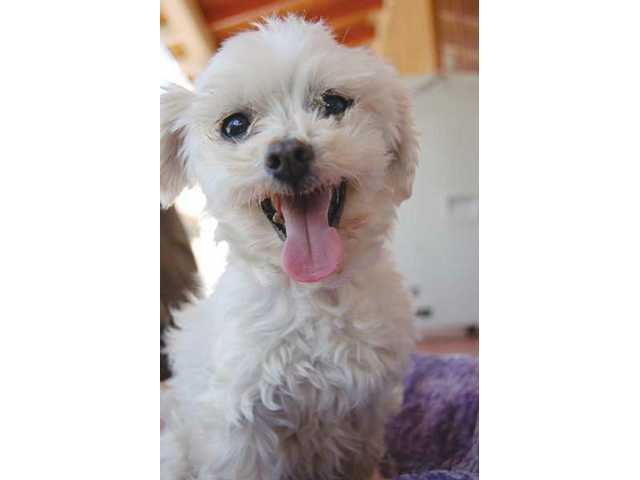 Look at that big smile. You'd never know Patty, a Maltese, spent the first years of her life breeding in a puppy mill. Patty is a sweetheart who loves people, playing with her puppy mill friends, and being your best friend.