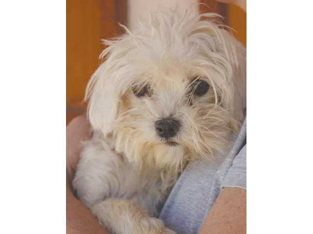 A shy girl, Peggy the Maltese has had a harder time overcoming her past breeding in a puppy mill as well. Day by day, however, Patty is coming out of her shell and learning to enjoy her newfound freedom. A loving family and home of her own would really make her shine.