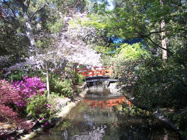 The bridge to the Japanese teahouse at Descanso Gardens is surrounded by flowering trees and plants and reflected in the stream filled with colorful koi.