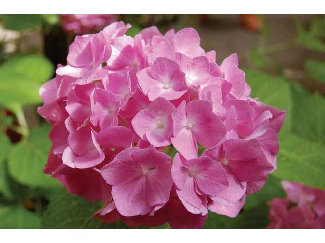 The presence or absence of aluminum determines if your hydrangeas are pink or blue.