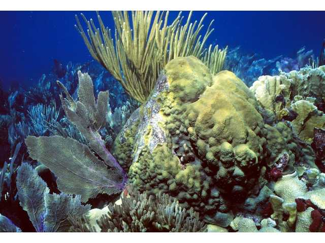 An undated photo provided by NOAA shows a shallow-water coral reef with sea fans, soft corls, and boulder starcoral in the Florida Keys. Despite BP siphoning some of the oil spewing into the Gulf of Mexico, worries escalated about the ooze reaching a major ocean current that could carry it through the Florida Keys and up the East Coast.