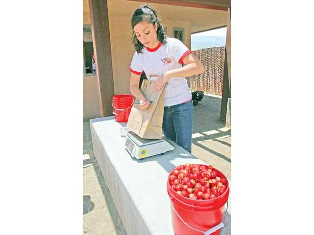 Ariana Case, 18, weighs cherries collected by visitors to her aunt and uncle's 25-acre cherry orchard. People come from throughout Southern California to pick cherries, which cost $3 per pound.