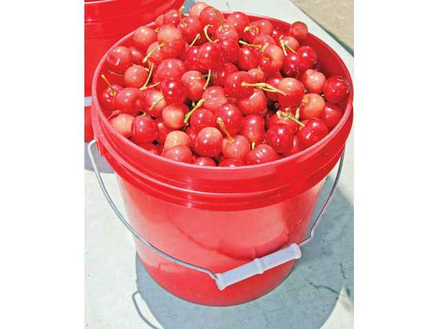 A full bucket of cherries can weigh almost 12 pounds and cost $36.