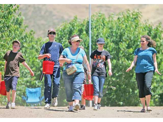 Ridgecrest residents walk with their buckets full of cherries the group collected during an afternoon expedition to Villa Del Sol.