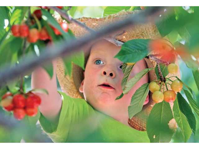 Anthony Joseph, 2, picks cherries at Villa Del Sol's cherry orchard in Leona Valley. Cherry season is now in full swing.