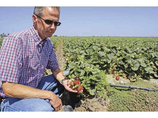 Andy Hooper, of Terry Farms in Ventura County, takes a moment to show how chloride affects strawberries, the county's top cash crop since 2001.