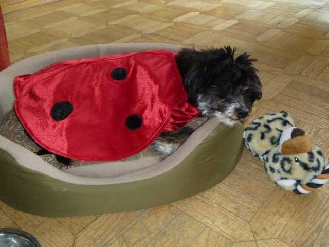 Macy sleeping in her ladybug costume.