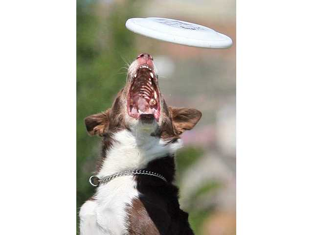 Seven-year-old Australian shepherd Riley gets ready to catch a flying disc.