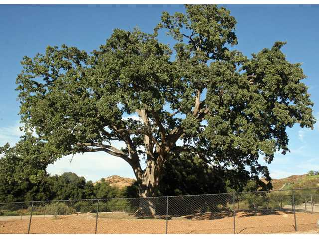 Old Glory, Santa Clarita's most famous oak tree, stands in its new location at Pico Canyon County Park, where it was moved six years ago. Scientists say the tree is doing well after being moved from its original location due to a road expansion.