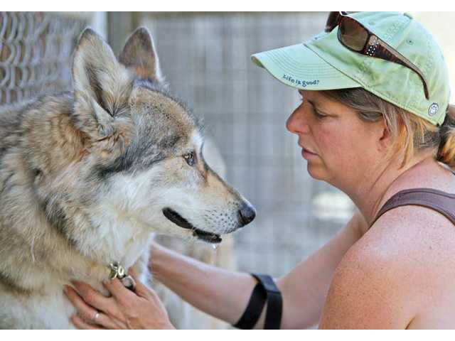 Santa Clarita resident Stacey Nivichanov spends time with rescued wolf dog Abeka at Wolf Connection on Wednesday. Nivichanov has been a volunteer at the center since last August.
