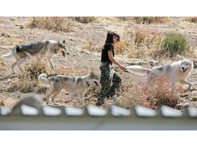 Renee Dutcher, 18, of Acton, walks with a pack of wolfdogs at the Wolf Connection center in Agua Dulce on Aug. 19. The organization, started a year ago, helps youth educate and empower themselves by interacting and caring for wolves and wolfdogs. Teo Alfero's wolf- and wolfdog-rescue organization sits on nearly 3 acres, caring for about 20 other wolves and wolfdogs. Some of the animals can eventually be adopted out, but for many, they'll spent the rest of their years there.