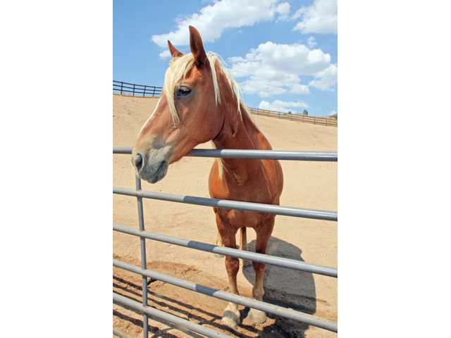 Tammy is one of the 98 horses rescued through the Canyon Creek horse rescue in Acton.