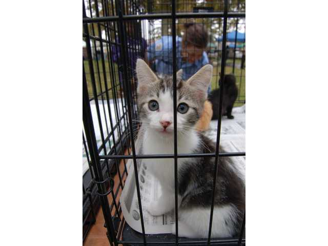 An adoptable kitten awaits its new home.
