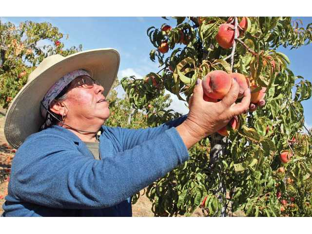 Juanita Alcala picks the last peaches of this season at the M&M Peach Ranch in Lake Hughes. The ranch grows 65 acres of organic peaches and 5 acres of organic bing cherries.