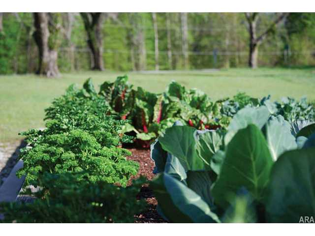 Growing fall crops in raised beds can help protect tender plants from frost damage. Among the best choices for your fall/winter garden are greens like kale, collards, lettuce and broccoli.