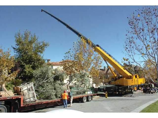 A 240-foot crane lifts one of four 7,000-pound, 72-inch boxed olive trees from Green Landscape Nursery at a house in the Westridge community of Stevenson Ranch on Wednesday.