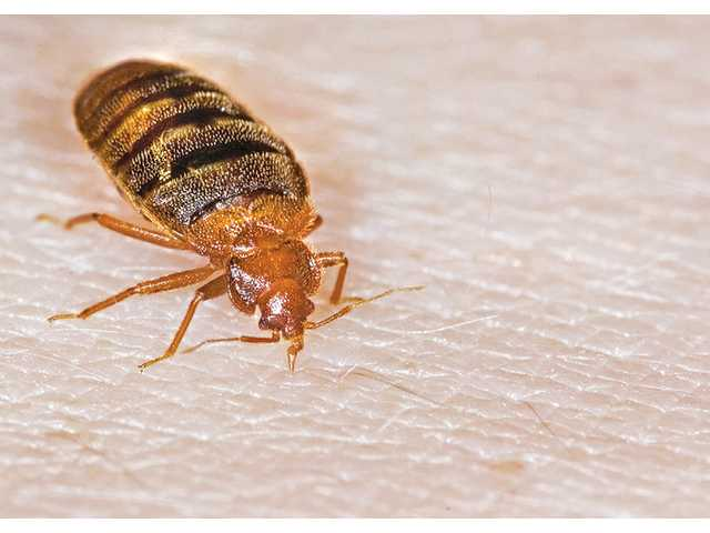 Bedbugs are becoming more prevalent on the West Coast.
