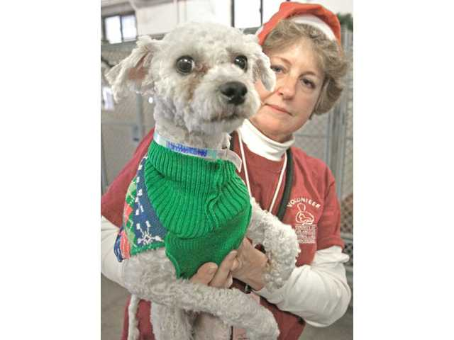 Volunteer Janis Ashley brings out a 2-year-old poodle named Buddy so he can meet prospective parents at the Castaic Animal Shelter