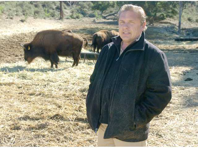 Norman Phillips, superintendent of William S. Hart Park, stands among bison in the park Monday.