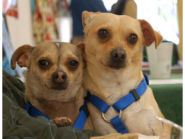 Desi and Lucy, two-year-old Chihuahua mixes, are a fun-loving brother and sister team.