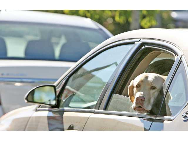 Taylor, a Labrador, awaits her turn in the drive-thru at In-N-Out Burger on Bouquet Canyon Road in Valencia on Tuesday.