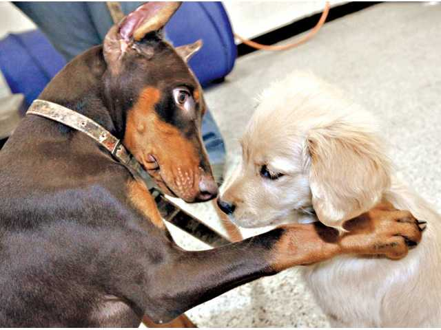 Theia, a 3-month-old red Doberman, left, plays with 11-week-old golden retriever Harley, as dogs get to socialize with each other during a dog-training class held at Petco in Valencia on Thursday.