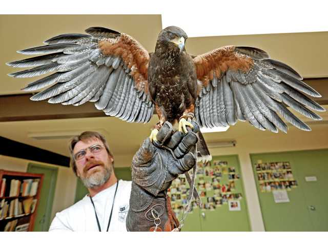 Dave Stives, regional park animal keeper, holds Zippo, a captive-bred Harris hawk at the Placerita Canyon Nature Center in Newhall on Monday.