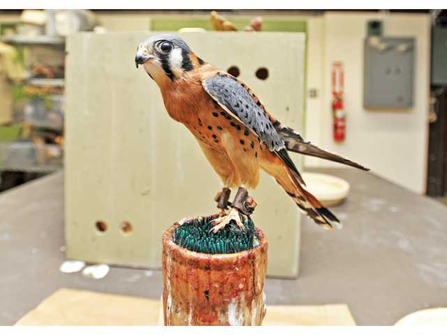 An American kestrel perches on a stand at the Placerita Canyon Nature Center on Monday. American kestrels are North America's smallest falcons, and center visitors often mistake the them for blue jays, said Dave Stives, regional park animal keeper.