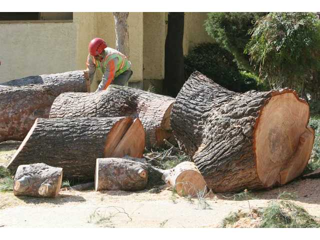 Tree trimmers remove a tree on Camp Plenty Road near Stillmore Street next to Sierra Vista Junior High School in Canyon Country on Thursday. A fallen branch is thought to be the cause, but Southern California Edison officials are still investigating.