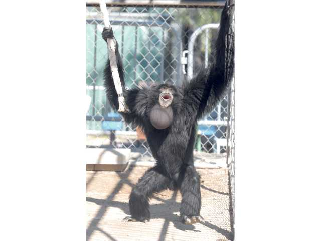 Kino, a male Siamang uses his throat sack to make distinctive vocal sounds at the Gibbon Conservation Center in the Santa Clarita Valley.