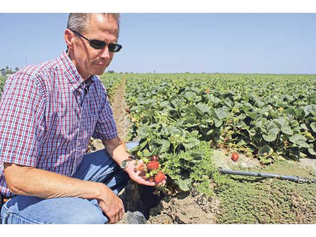 Andy Hooper, of Terry Farms in Ventura County, takes a moment to show how chloride affects strawberries, the county's top cash crop since 2001. Santa Clarita residents and businesses are facing fee increases to pay for water-filtration plants to reduce levels of the naturally occuring salt — or face heavy fines if the water is not filtered.