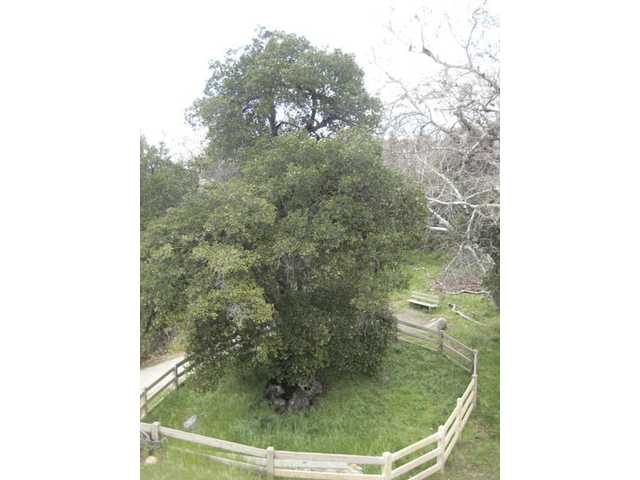 This tree is designated as the official Oak of the Golden Dream, where gold was discovered in 1842.