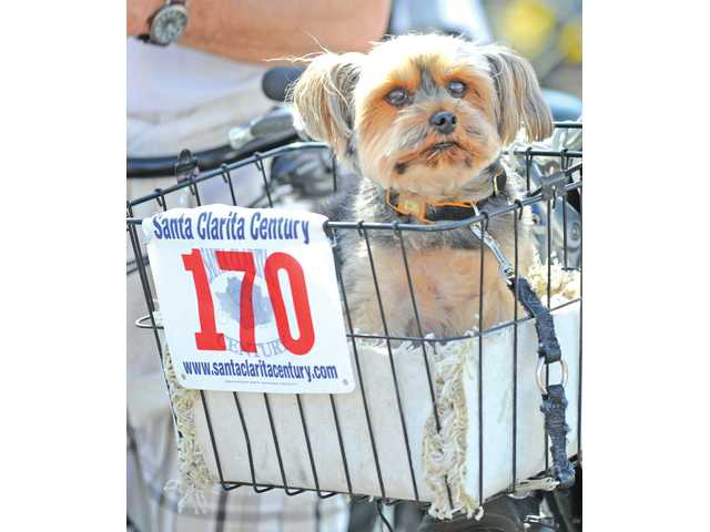 Sam, a Yorkshire terrier, rode with a group in the 5.5-mile family bike ride of Santa Clarita Century Ride and Family Fun event at the Westfield Valencia Town Center last Saturday. Nearly 500 cyclists turned out for the event.