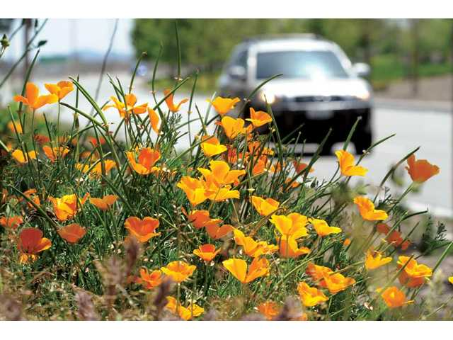 California poppies bloom along The Old Road near Magic Mountain Parkway on Thursday. With clear and sunny skies expected all week, they are likely to soon have plenty of company.