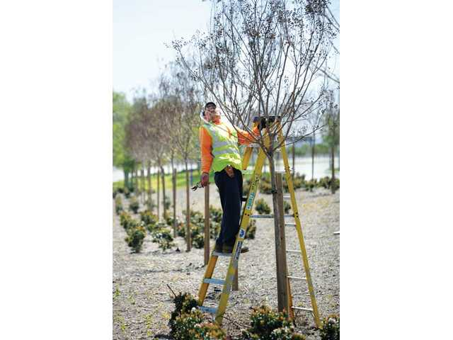Valenzuela stands on a ladder as he trims some of the trees. The trees will bloom pink in about a month.