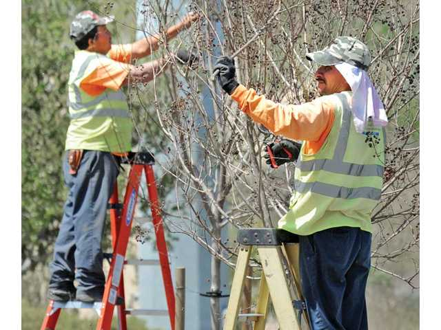Jose Cruz, left, and Octilio Valenzuela of Marina Landscaping stand on ladders as they trim some of the 92 crape myrtle trees on the median along The Old Road near Magic Mountain Parkway on Thursday.