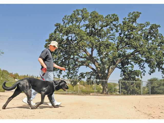 Dennis Farragher, of Stevenson Ranch, and Moose, a 2-year-old black Labrador, walk past the Old Glory oak tree as they take their daily walk at Pico Canyon Park in Stevenson Ranch on Thursday. The fence surrounding the tree should come down within the next 45 days, officials say.