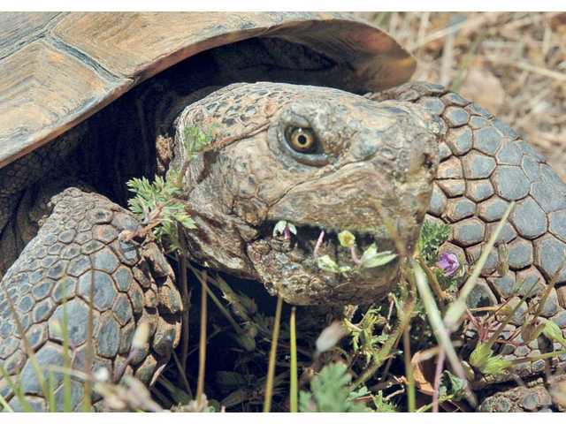 Turbo, a 76-year-old desert tortoise, eats red-stemmed filaree at the Placerita Canyon Nature Center in Newhall on Friday. Turbo is currently on display at the local nature center with his 46-year-old friend Speedy.