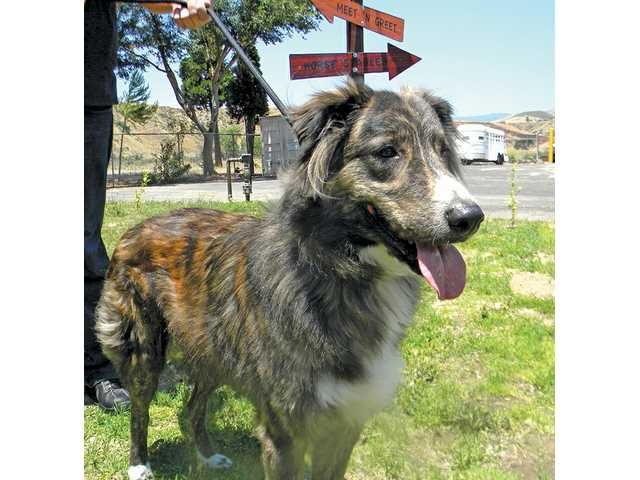 Ballo, A4291413, is a magnificent Australian Shepherd mix, a big, goofy puppy who needs an energetic family to keep up with him.